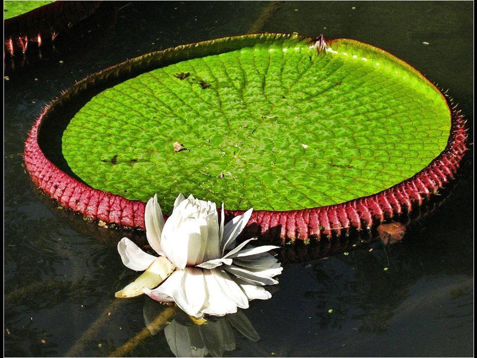 A Vitória-régia, também chamada Vitória amazônica, é um lírio, lírio de água, é o maior de todos os lírios de água.