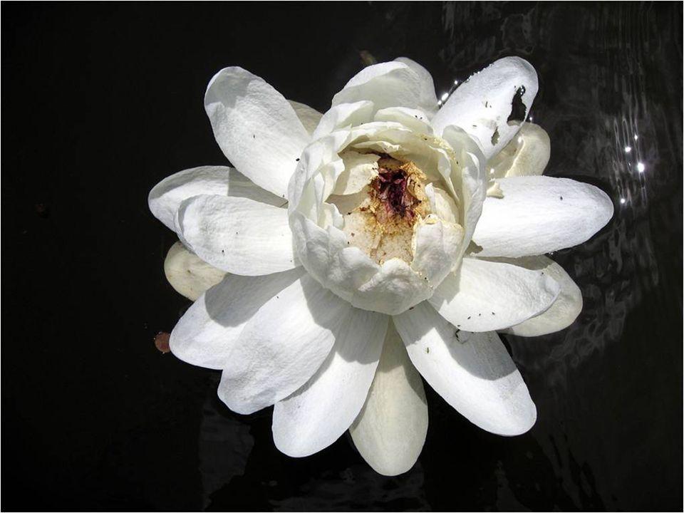 Quando a flor é branca e do sexo femenino, apenas o estigma está maduro e pode receber pólen.
