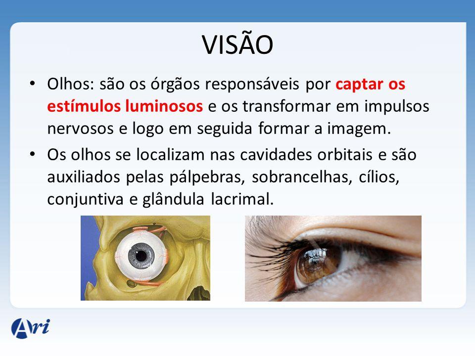 VISÃO Olhos: são os órgãos responsáveis por captar os estímulos luminosos e os transformar em impulsos nervosos e logo em seguida formar a imagem. Os