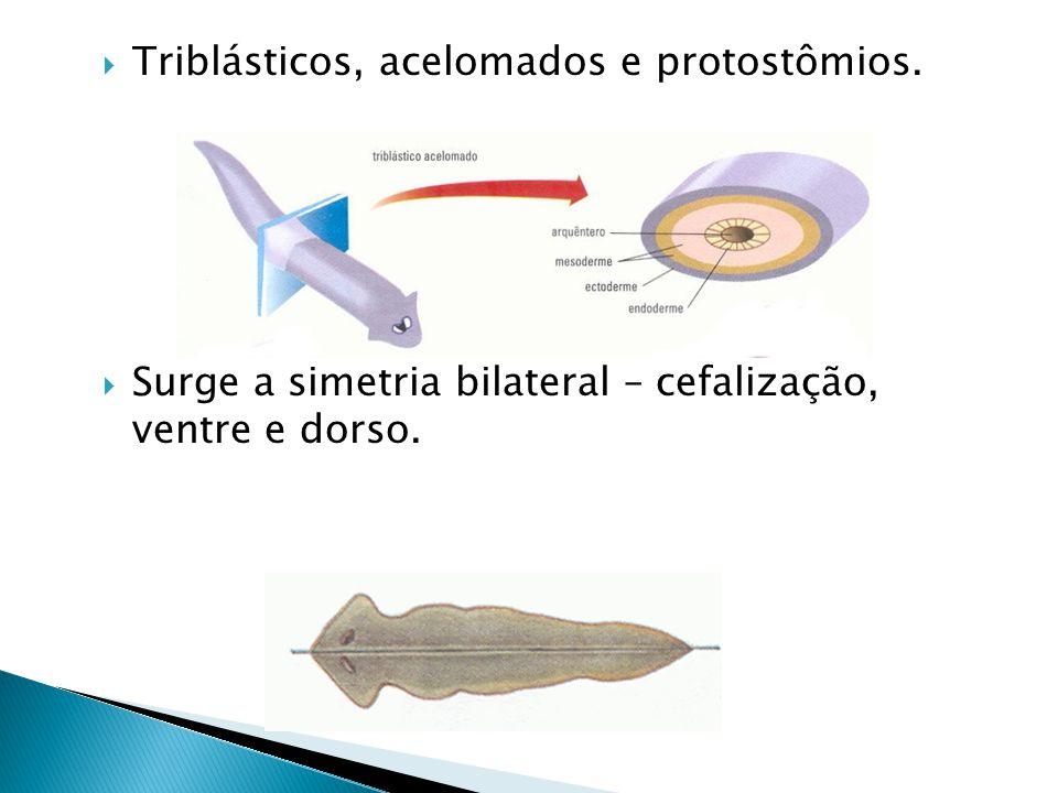 Triblásticos, acelomados e protostômios. Surge a simetria bilateral – cefalização, ventre e dorso.