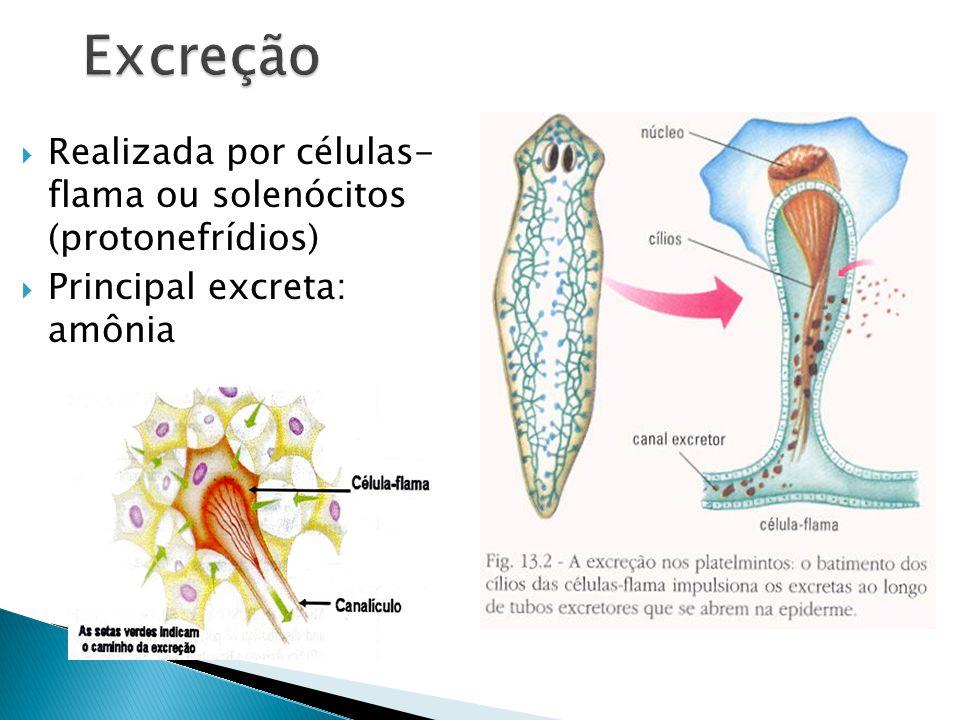 Realizada por células- flama ou solenócitos (protonefrídios) Principal excreta: amônia