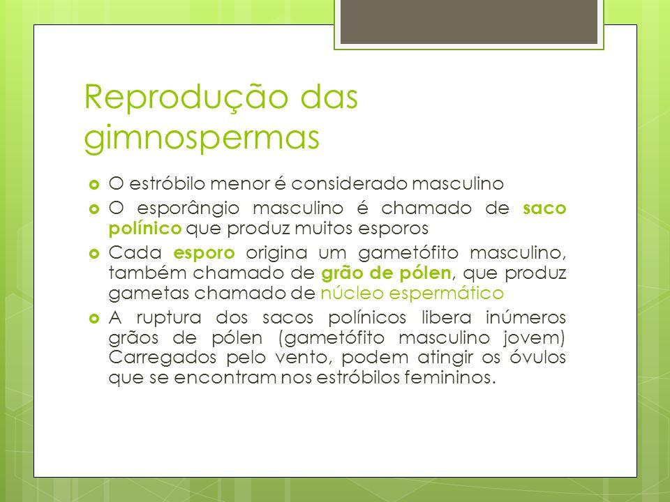 Reprodução das gimnospermas O estróbilo menor é considerado masculino O esporângio masculino é chamado de saco polínico que produz muitos esporos Cada