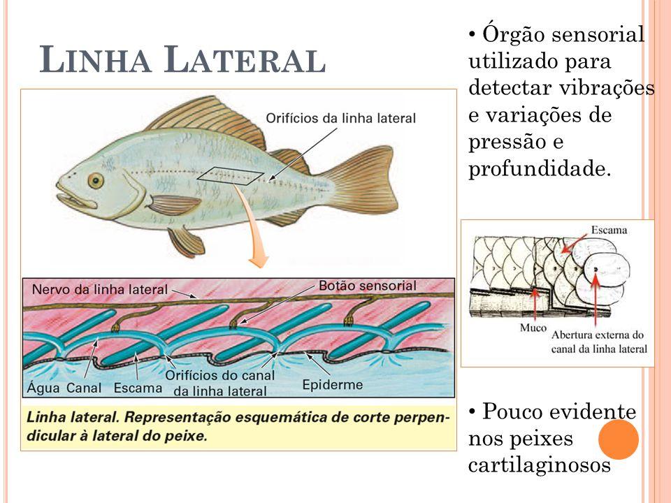 L INHA L ATERAL Órgão sensorial utilizado para detectar vibrações e variações de pressão e profundidade. Pouco evidente nos peixes cartilaginosos