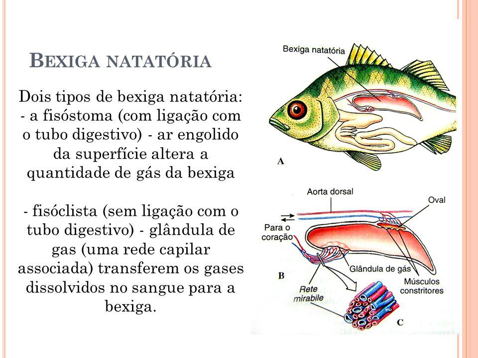 B EXIGA NATATÓRIA Dois tipos de bexiga natatória: - a fisóstoma (com ligação com o tubo digestivo) - ar engolido da superfície altera a quantidade de