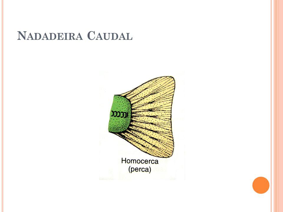 N ADADEIRA C AUDAL