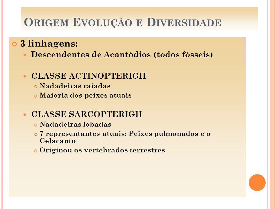 O RIGEM E VOLUÇÃO E D IVERSIDADE 3 linhagens: Descendentes de Acantódios (todos fósseis) CLASSE ACTINOPTERIGII Nadadeiras raiadas Maioria dos peixes a
