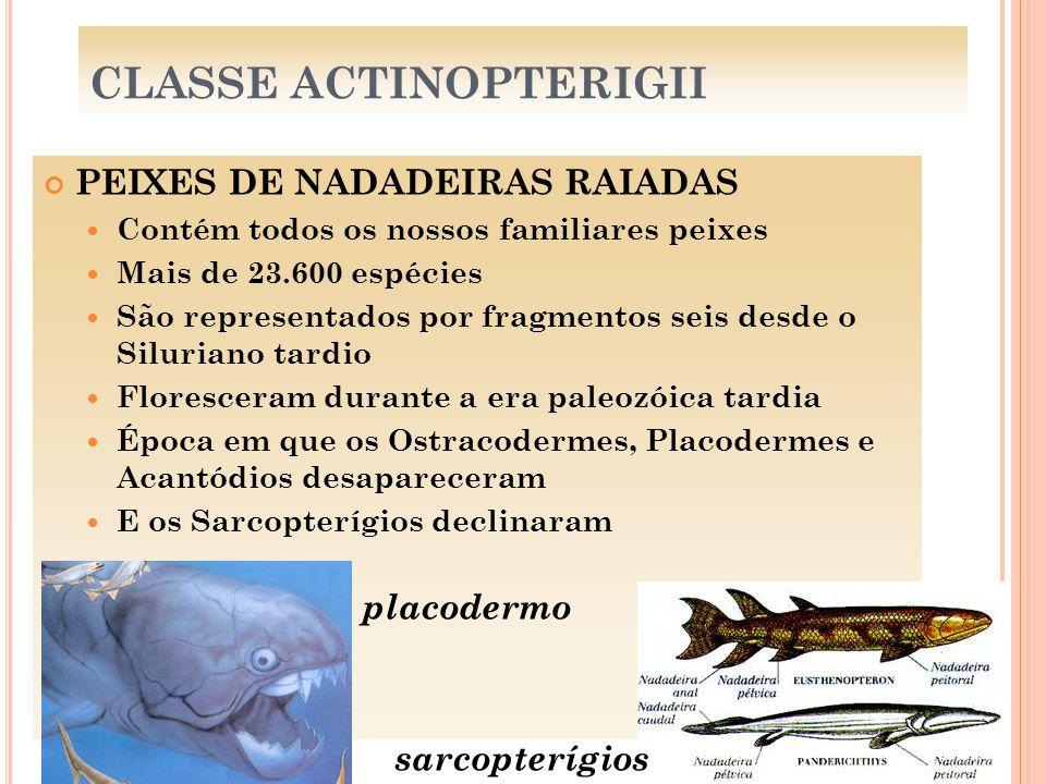 CLASSE ACTINOPTERIGII PEIXES DE NADADEIRAS RAIADAS Contém todos os nossos familiares peixes Mais de 23.600 espécies São representados por fragmentos s