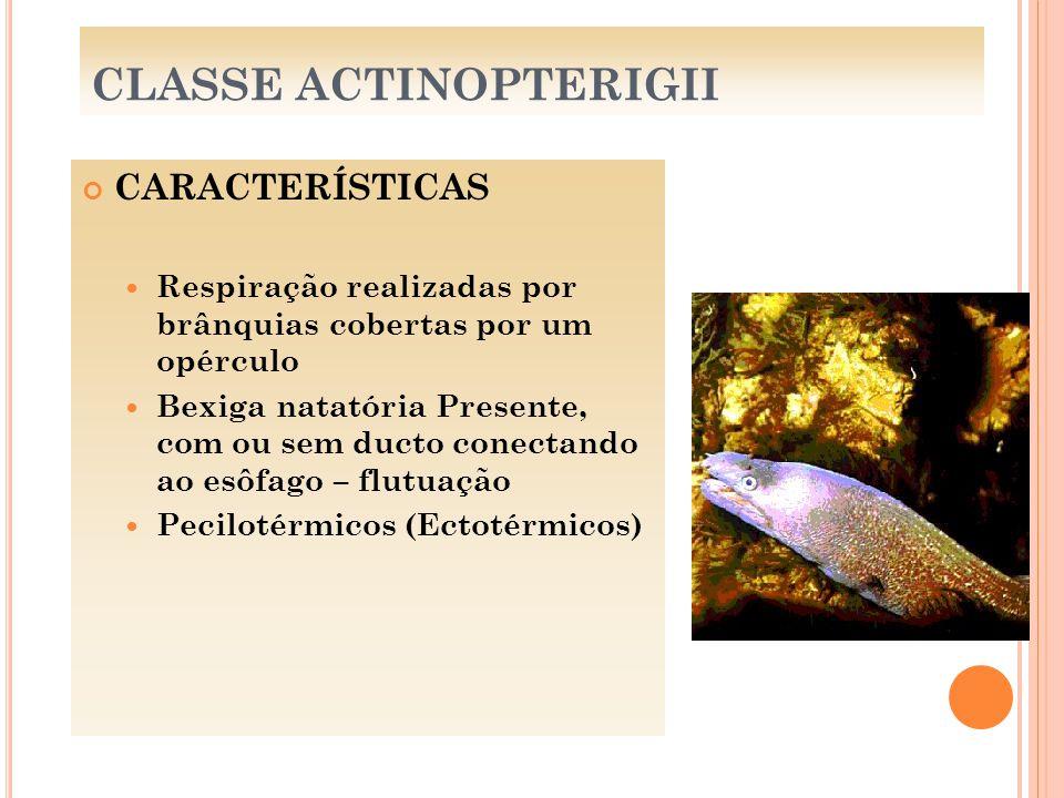 CLASSE ACTINOPTERIGII CARACTERÍSTICAS Respiração realizadas por brânquias cobertas por um opérculo Bexiga natatória Presente, com ou sem ducto conecta