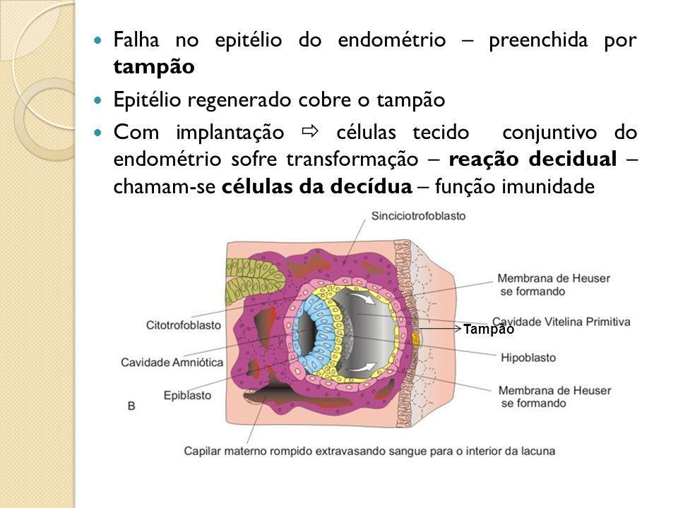 Falha no epitélio do endométrio – preenchida por tampão Epitélio regenerado cobre o tampão Com implantação células tecido conjuntivo do endométrio sofre transformação – reação decidual – chamam-se células da decídua – função imunidade Tampão