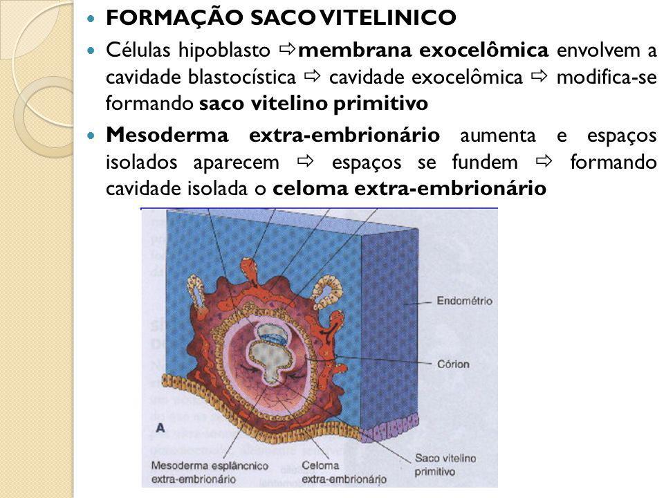 FORMAÇÃO SACO VITELINICO Células hipoblasto membrana exocelômica envolvem a cavidade blastocística cavidade exocelômica modifica-se formando saco vitelino primitivo Mesoderma extra-embrionário aumenta e espaços isolados aparecem espaços se fundem formando cavidade isolada o celoma extra-embrionário