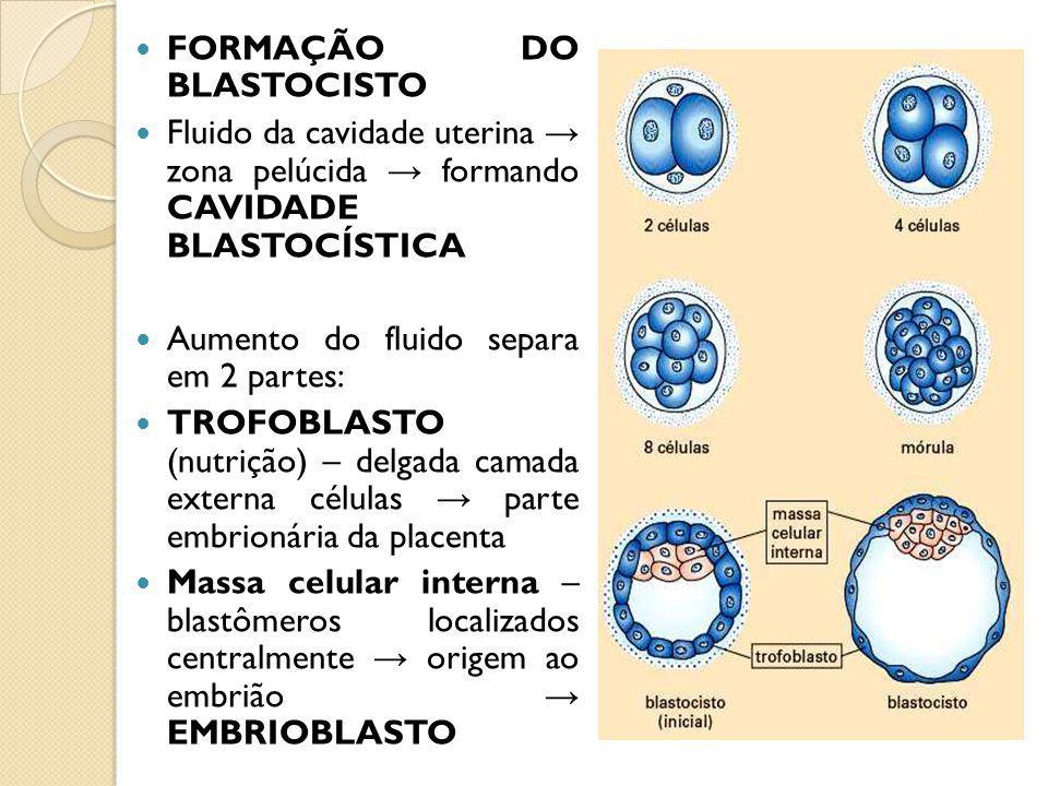FORMAÇÃO DO BLASTOCISTO Fluido da cavidade uterina zona pelúcida formando CAVIDADE BLASTOCÍSTICA Aumento do fluido separa em 2 partes: TROFOBLASTO (nutrição) – delgada camada externa células parte embrionária da placenta Massa celular interna – blastômeros localizados centralmente origem ao embrião EMBRIOBLASTO