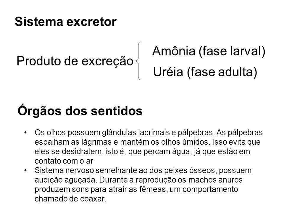 Sistema excretor Produto de excreção Amônia (fase larval) Uréia (fase adulta) Órgãos dos sentidos Os olhos possuem glândulas lacrimais e pálpebras. As