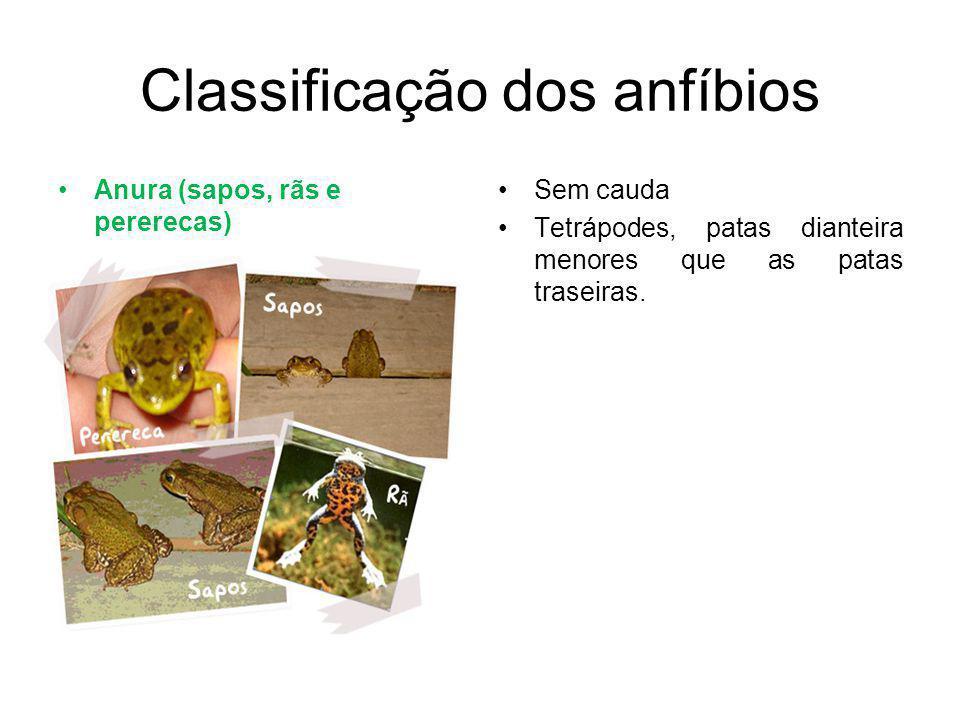 Classificação dos anfíbios Anura (sapos, rãs e pererecas) Sem cauda Tetrápodes, patas dianteira menores que as patas traseiras.