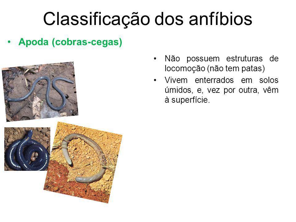 Classificação dos anfíbios Apoda (cobras-cegas) Não possuem estruturas de locomoção (não tem patas) Vivem enterrados em solos úmidos, e, vez por outra