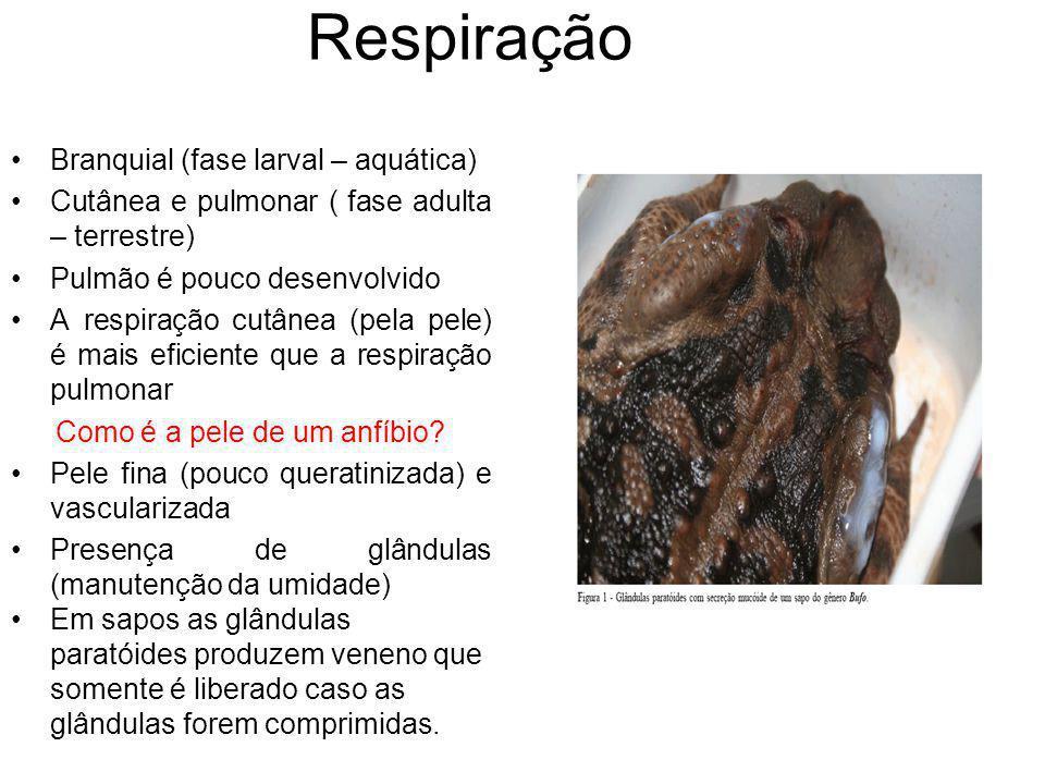 Respiração Branquial (fase larval – aquática) Cutânea e pulmonar ( fase adulta – terrestre) Pulmão é pouco desenvolvido A respiração cutânea (pela pel