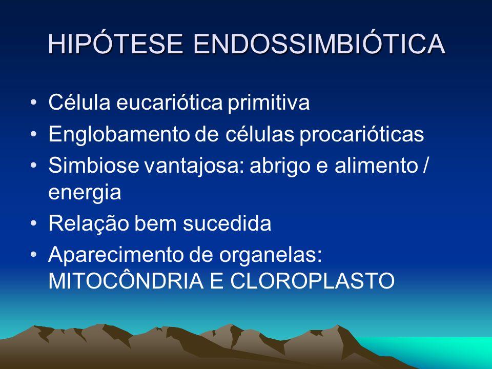 HIPÓTESE ENDOSSIMBIÓTICA Célula eucariótica primitiva Englobamento de células procarióticas Simbiose vantajosa: abrigo e alimento / energia Relação be