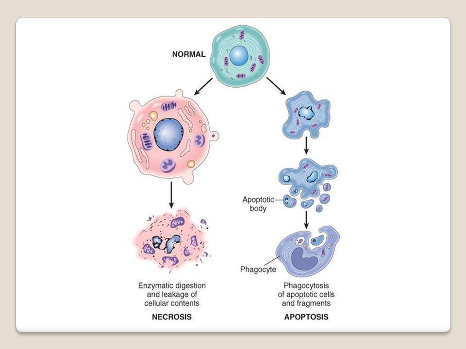 Célula normal Célula cancerosa Segue uma instrução para replicarem-se Ignoram essa instrução, passando a se replicar indefinida e descontroladamente Acúmulo de mutações ao longo dos anos