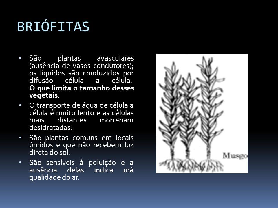 BRIÓFITAS São plantas avasculares (ausência de vasos condutores); os líquidos são conduzidos por difusão célula a célula.