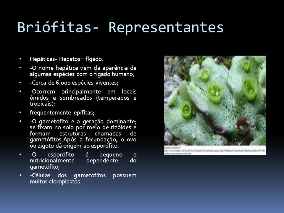 Briófitas- Representantes Hepáticas- Hepatos= fígado. -O nome hepática vem da aparência de algumas espécies com o fígado humano; -Cerca de 6.000 espéc