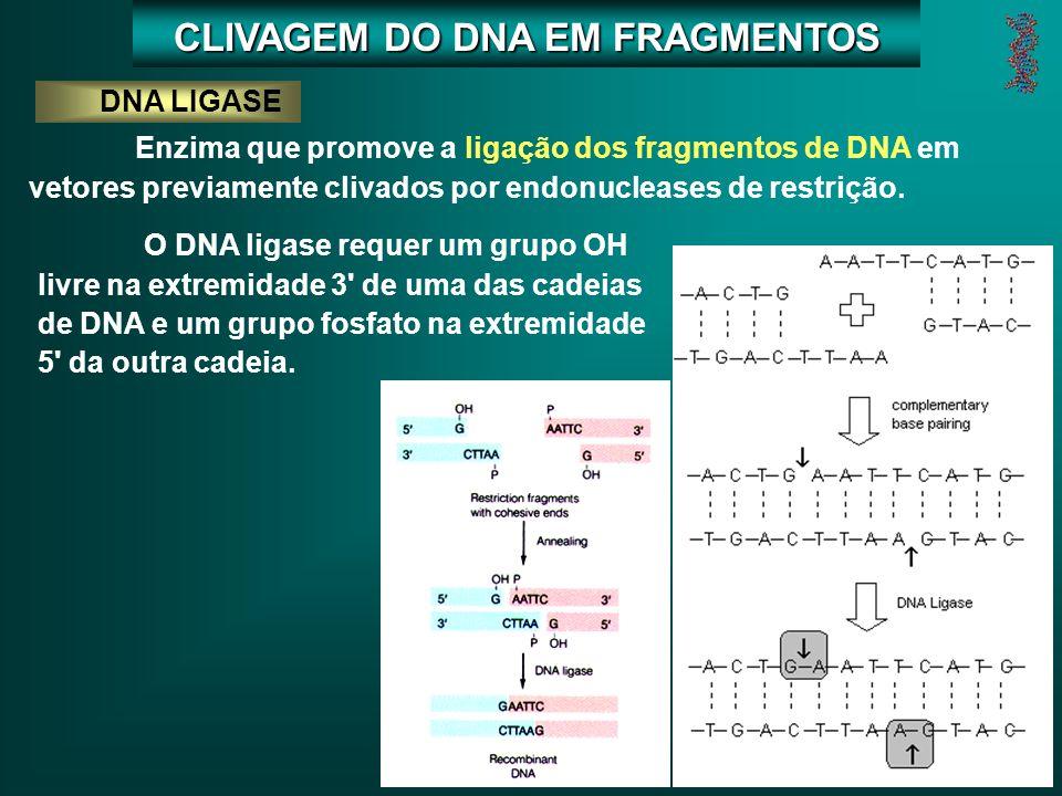 DNA LIGASE Enzima que promove a ligação dos fragmentos de DNA em vetores previamente clivados por endonucleases de restrição.