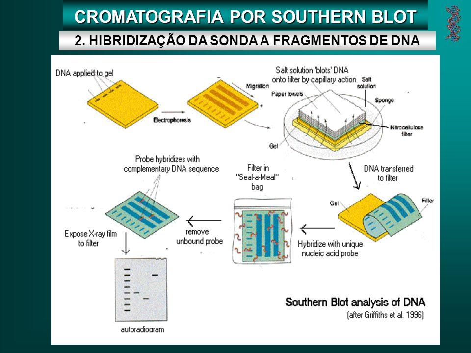 CROMATOGRAFIA POR SOUTHERN BLOT 2. HIBRIDIZAÇÃO DA SONDA A FRAGMENTOS DE DNA