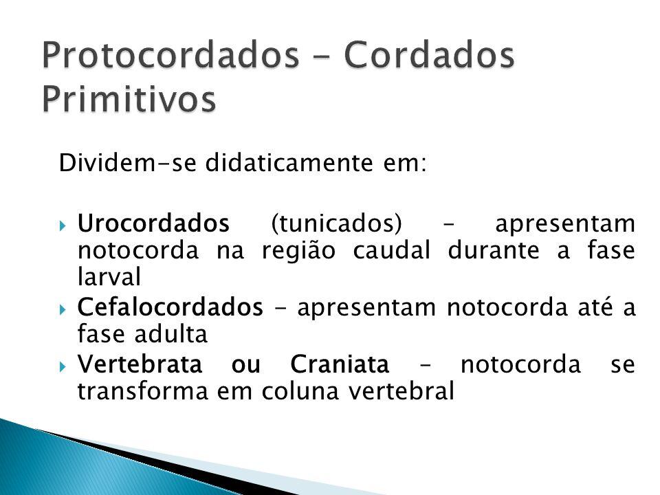 Dividem-se didaticamente em: Urocordados (tunicados) – apresentam notocorda na região caudal durante a fase larval Cefalocordados - apresentam notocorda até a fase adulta Vertebrata ou Craniata – notocorda se transforma em coluna vertebral