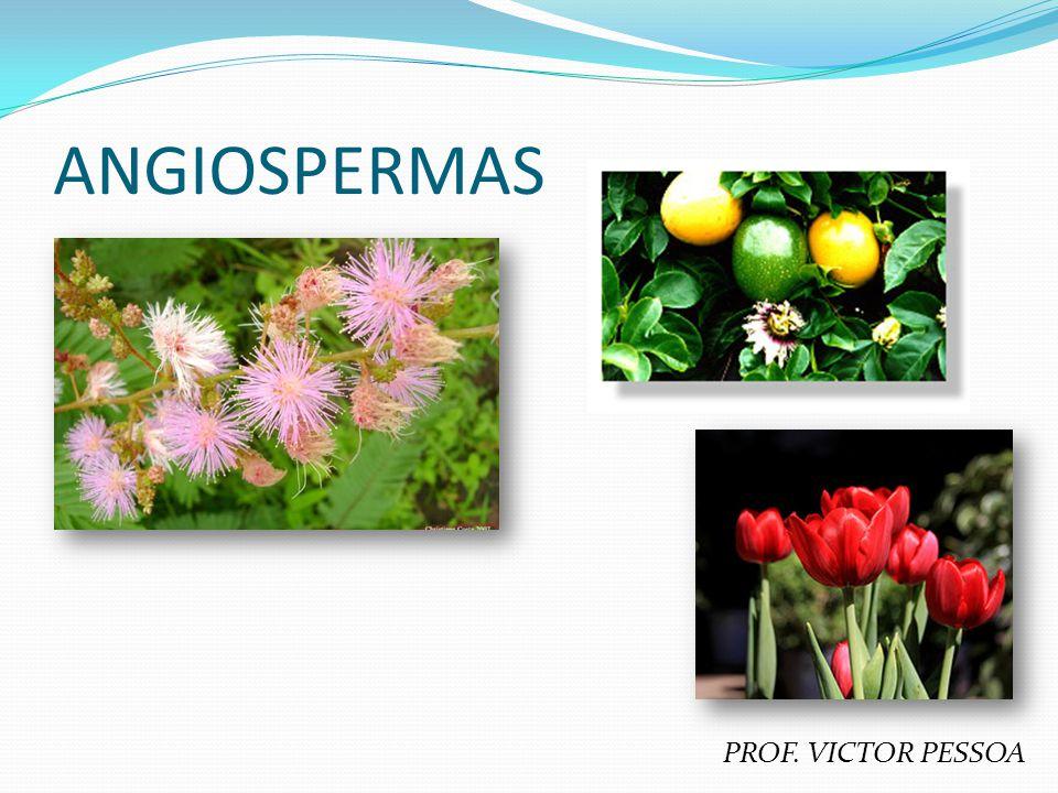 PRINCIPAIS CARACTERÍSTICAS Fanerógamas (órgãos reprodutores evidentes = flores); Espermatófitas (produzem sementes); Sifonógamas (ocorrência de tubo polínico = independência da água para a reprodução); Flores dotadas de ovário(s) = envolvido(s) na formação do(s) fruto(s); Grupo vegetal mais recente e mais abundante (versatilidade nos mecanismos de polinização e dispersão de suas sementes); Subdivisão em MONOCOTILEDÔNEAS e DICOTILEDÔNEAS.
