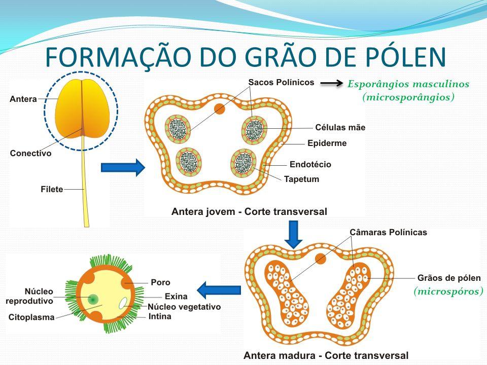 Quando ainda se encontram encerrados nas anteras, os grãos de pólen iniciam a sua germinação sofrendo uma mitose não seguida de citocinese, obtendo-se uma célula com dois núcleos: núcleo germinativo e núcleo vegetativo.