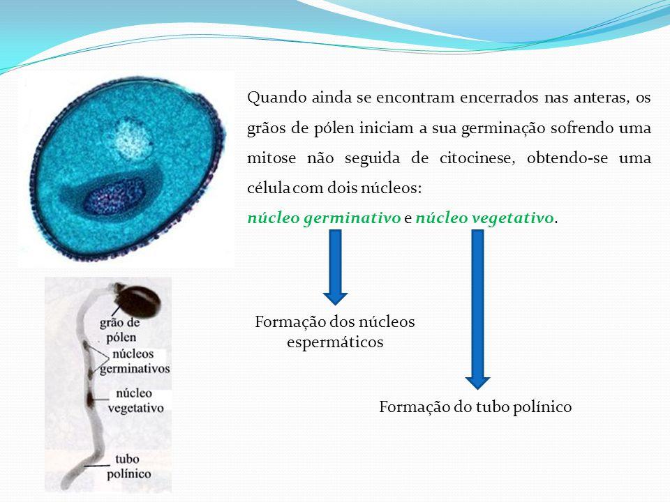 Quando ainda se encontram encerrados nas anteras, os grãos de pólen iniciam a sua germinação sofrendo uma mitose não seguida de citocinese, obtendo-se