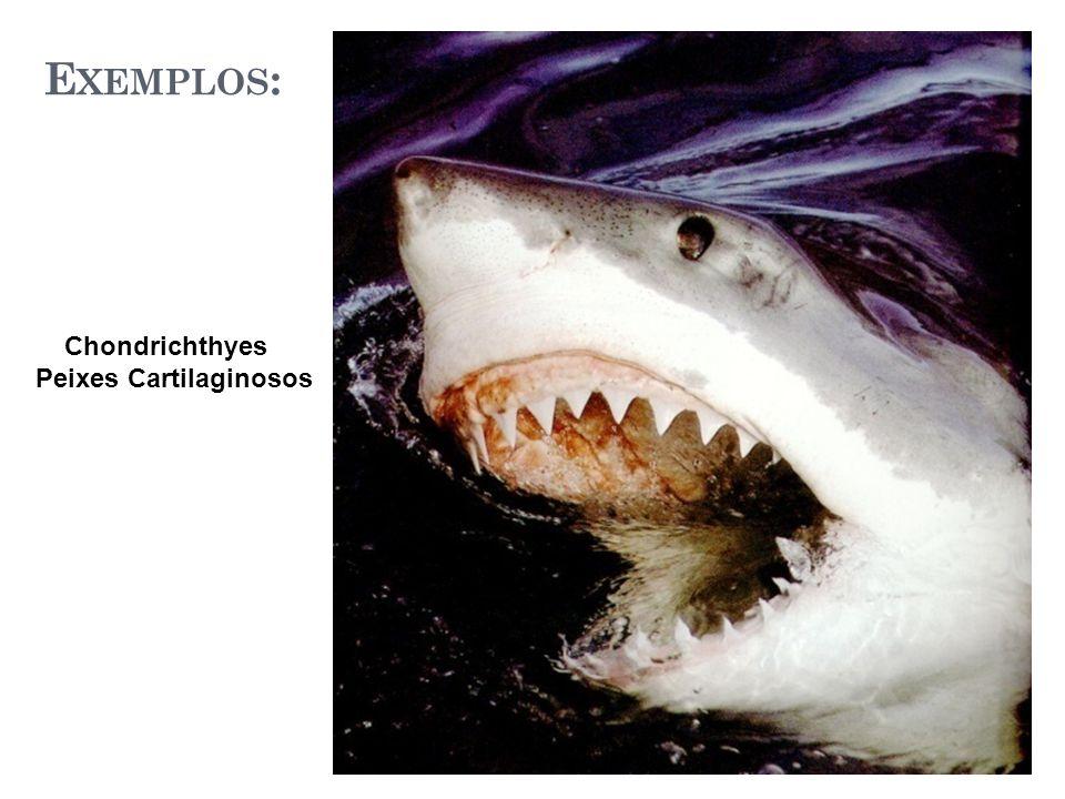 E XEMPLOS : Chondrichthyes Peixes Cartilaginosos