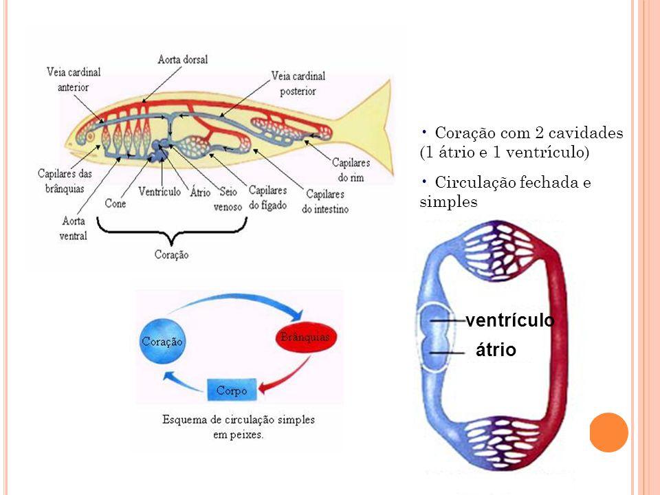 Coração com 2 cavidades (1 átrio e 1 ventrículo) Circulação fechada e simples átrio ventrículo