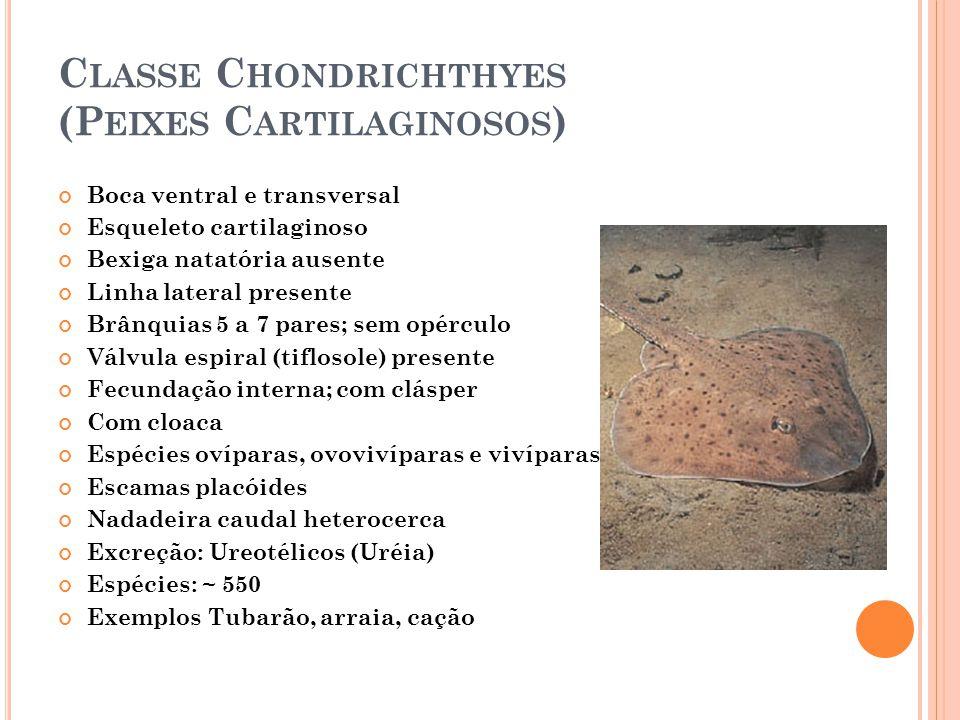 C LASSE C HONDRICHTHYES (P EIXES C ARTILAGINOSOS ) Boca ventral e transversal Esqueleto cartilaginoso Bexiga natatória ausente Linha lateral presente