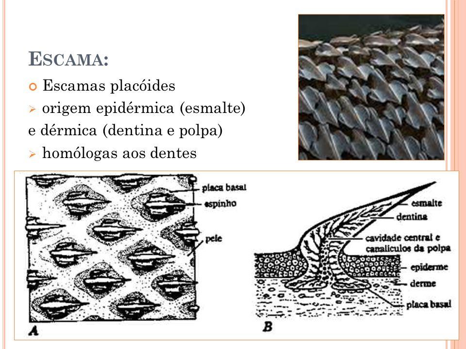 Escamas placóides origem epidérmica (esmalte) e dérmica (dentina e polpa) homólogas aos dentes E SCAMA :
