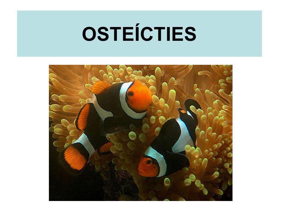 CARACTERIZAÇÃO GERAL É a maior classe de vertebrados da atualidade; Podem ser marinhos ou dulcícolas;