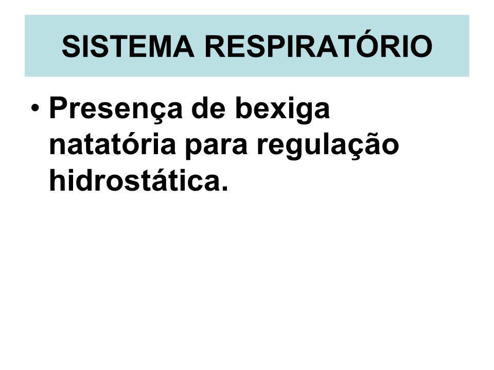 SISTEMA RESPIRATÓRIO Presença de bexiga natatória para regulação hidrostática.