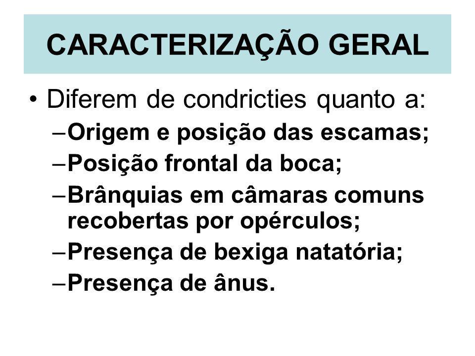 CARACTERIZAÇÃO GERAL Diferem de condricties quanto a: –Origem e posição das escamas; –Posição frontal da boca; –Brânquias em câmaras comuns recobertas
