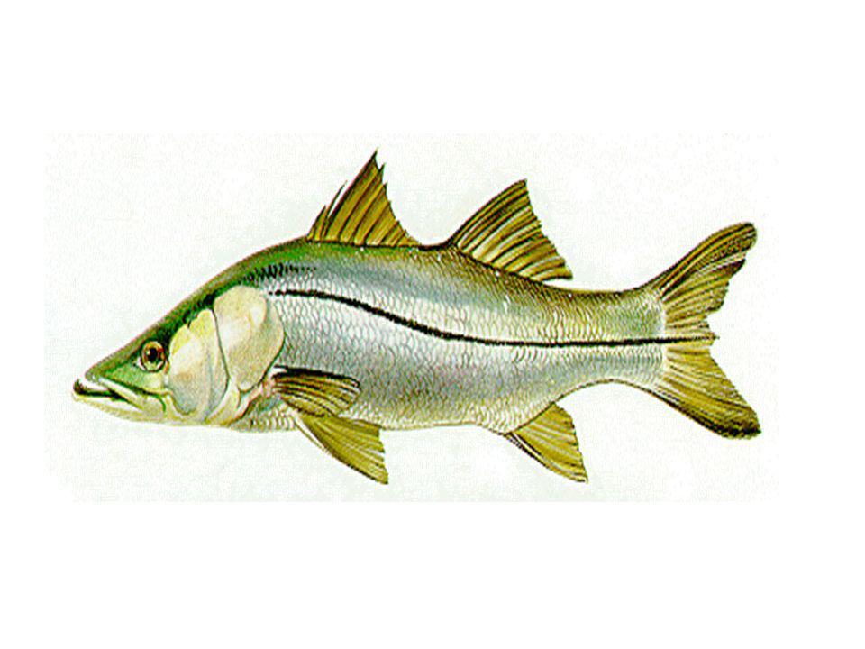 ADAPTAÇÕES OSMÓTICAS Peixe marinho (adaptações em meio hipertônico): –Ingestão elevada de água; –Urina concentrada; –Excreção de sais.