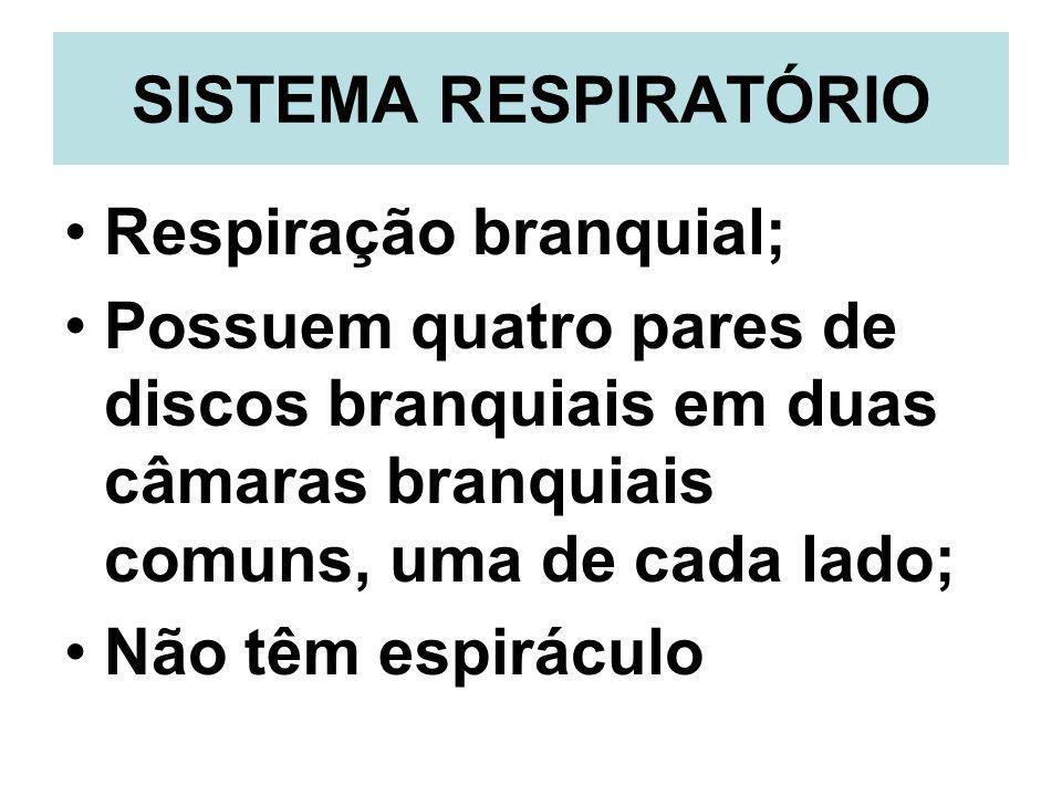 SISTEMA RESPIRATÓRIO Respiração branquial; Possuem quatro pares de discos branquiais em duas câmaras branquiais comuns, uma de cada lado; Não têm espi