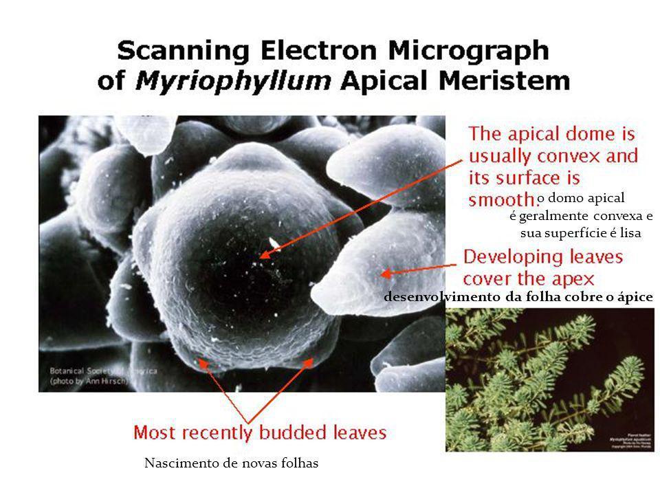 o domo apical é geralmente convexa e sua superfície é lisa desenvolvimento da folha cobre o ápice Nascimento de novas folhas