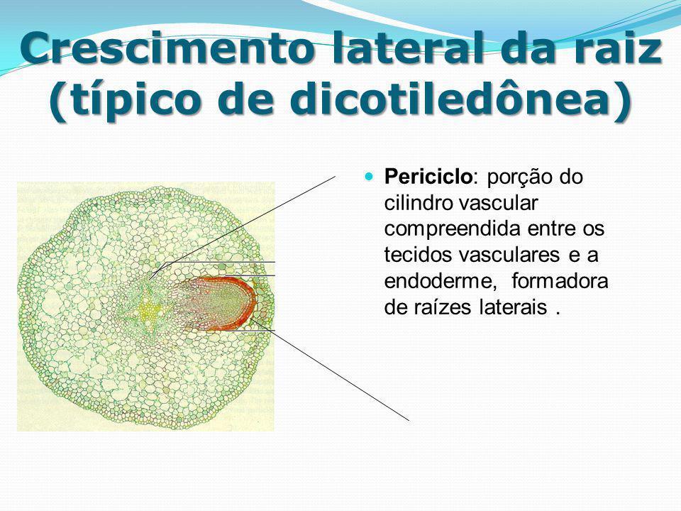 Crescimento lateral da raiz (típico de dicotiledônea) Periciclo: porção do cilindro vascular compreendida entre os tecidos vasculares e a endoderme, f