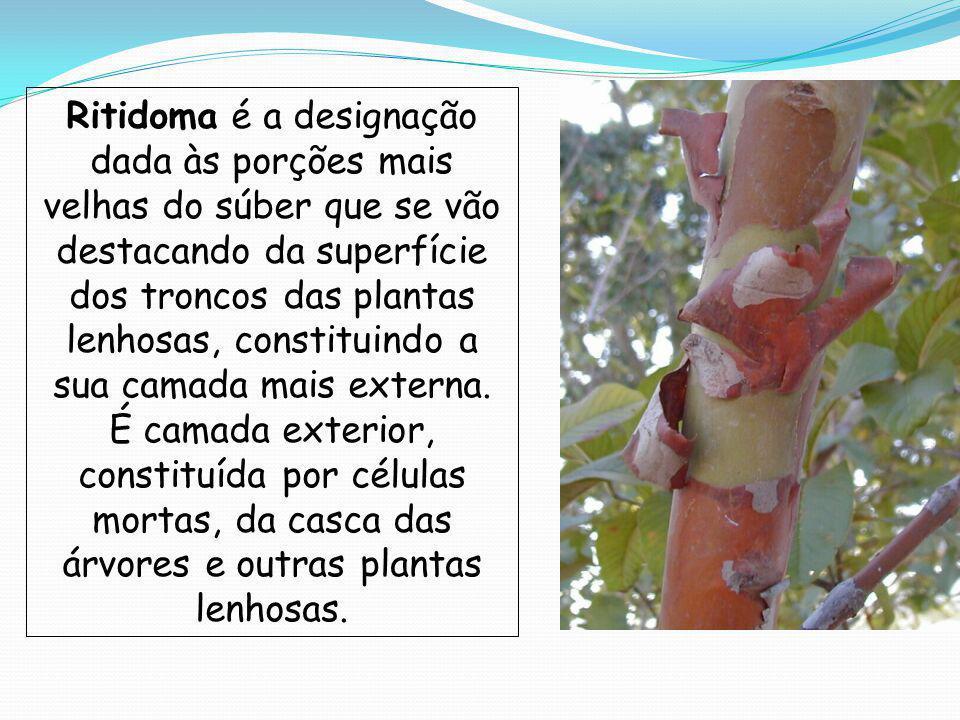 Ritidoma é a designação dada às porções mais velhas do súber que se vão destacando da superfície dos troncos das plantas lenhosas, constituindo a sua