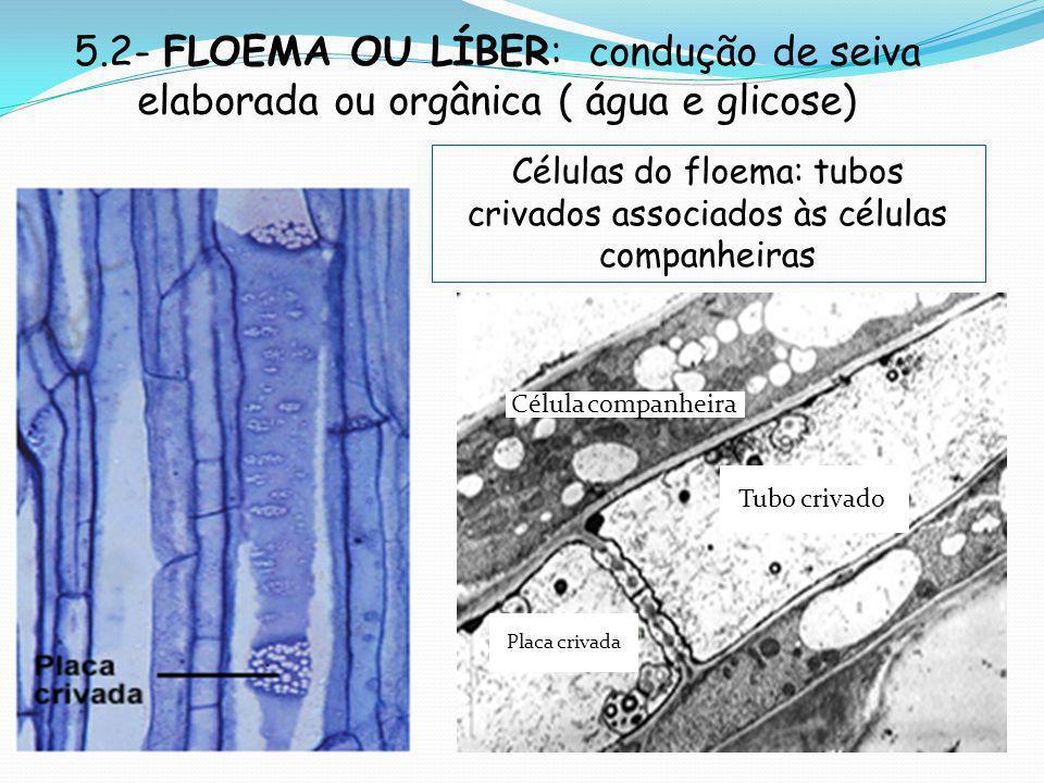 5.2- FLOEMA OU LÍBER: condução de seiva elaborada ou orgânica ( água e glicose) Placa crivada Tubo crivado Célula companheira Células do floema: tubos