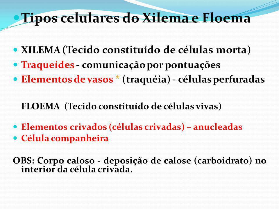Tipos celulares do Xilema e Floema XILEMA (Tecido constituído de células morta) Traqueídes - comunicação por pontuações Elementos de vasos * (traquéia