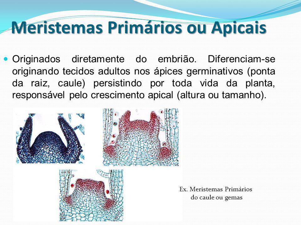 Meristemas Primários ou Apicais Originados diretamente do embrião. Diferenciam-se originando tecidos adultos nos ápices germinativos (ponta da raiz, c
