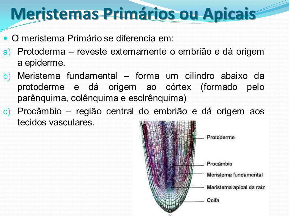 Meristemas Primários ou Apicais O meristema Primário se diferencia em: a) Protoderma – reveste externamente o embrião e dá origem a epiderme. b) Meris