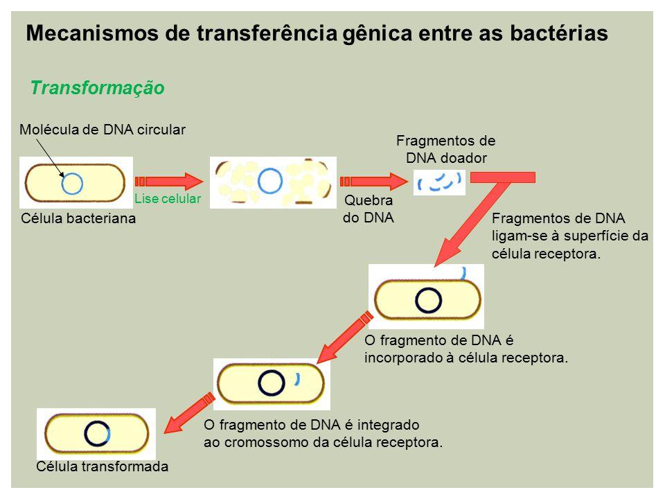 Transdução DNA do fago com genes da bactéria Fago O DNA do fago integra-se ao DNA da bactéria como um profago.