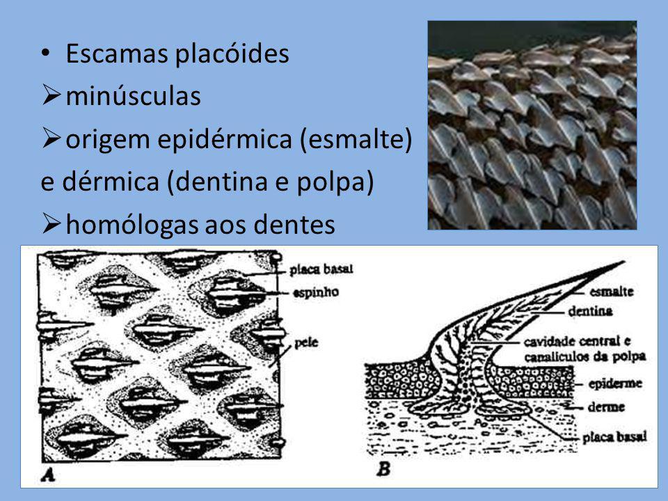 Escamas placóides minúsculas origem epidérmica (esmalte) e dérmica (dentina e polpa) homólogas aos dentes