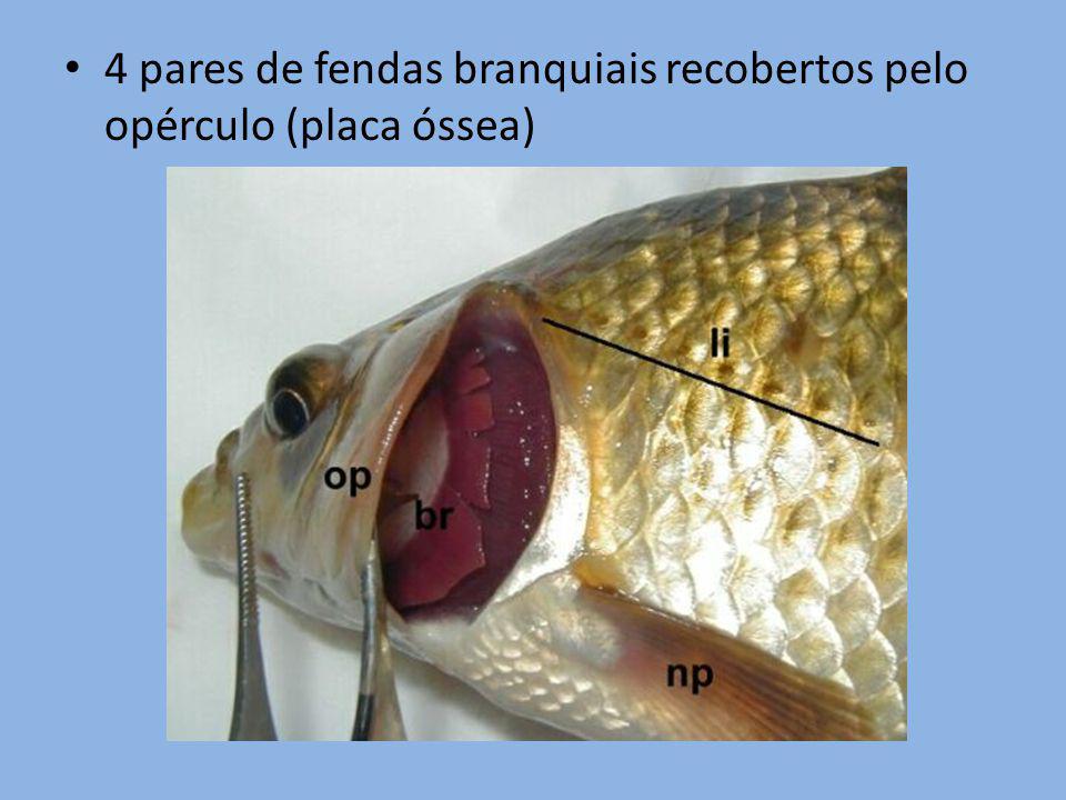 4 pares de fendas branquiais recobertos pelo opérculo (placa óssea)