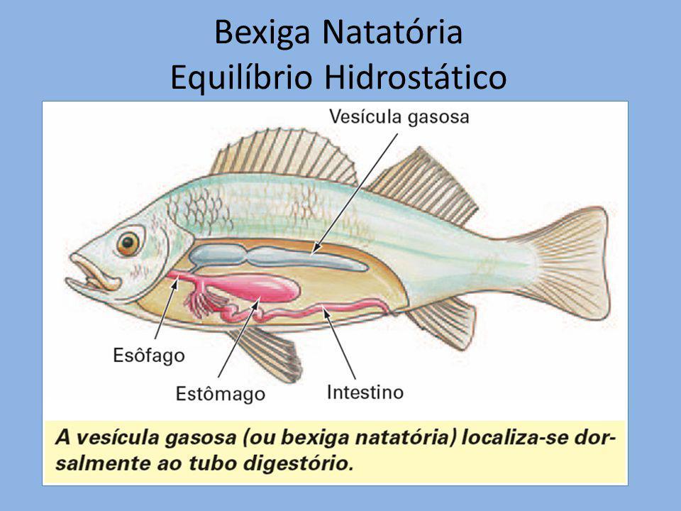 Bexiga Natatória Equilíbrio Hidrostático