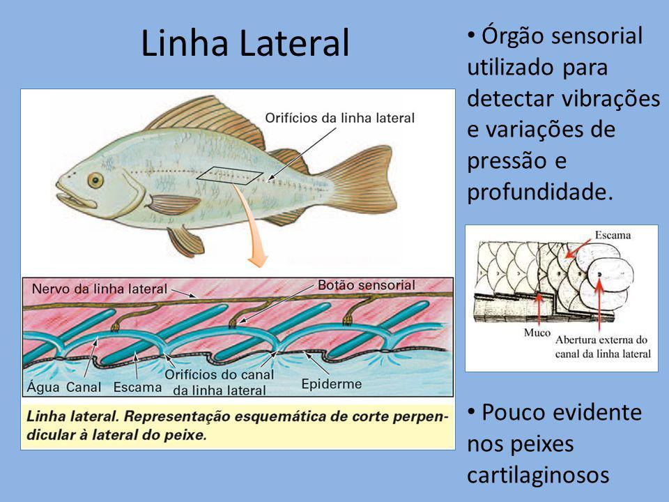 Linha Lateral Órgão sensorial utilizado para detectar vibrações e variações de pressão e profundidade. Pouco evidente nos peixes cartilaginosos